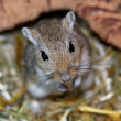Mongoligerbils (Meriones) — Stock Photo #2856379