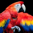 Scarlet Macaw (Ara macao) - Stock Photo