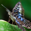 Stock Photo: Clipper (Parthenos sylvia)