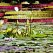 Nymphaea or Water lilies — Stock Photo #2856437