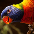 Lories and lorikeets — Stock Photo