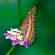Cethosibiblis (Red Lacewing) — Stock Photo #2856445