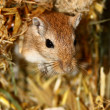 Mongoligerbils (Meriones) — Stock Photo #2856516