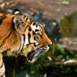 Siberian tiger (Panthera tigris altaica) — Stock Photo #2856563
