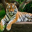 Siberian tiger (Panthera tigris altaica) — Stock Photo #2856569