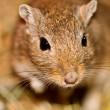 Mongoligerbils (Meriones) — Stock Photo #2857298