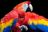 Scarlet Macaw (Ara macao) — Photo