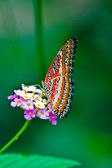 Cethosia biblis (Red Lacewing) — Foto Stock