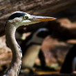 Grey Heron (Ardea cinerea) — Stock Photo #2864502