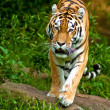 Siberian tiger (Panthera tigris altaica) — Stock Photo #2864767