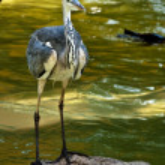 Grey Heron (Ardea cinerea) — Stock Photo #2865184
