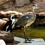 Grey Heron (Ardea cinerea) — Stock Photo #2865292