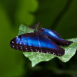 Morpho peleides — Stock Photo #2865326