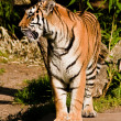 Siberian tiger (Panthera tigris altaica) — Stock Photo #2865479