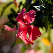 Hibiscus — Stock Photo #2865674