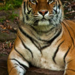 Siberian tiger (Panthera tigris altaica) — Stock Photo #2865737