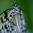 Paper Kite (Idea leuconoe) — Stock Photo