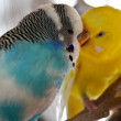 Stock Photo: Budgerigar