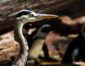 Grey Heron (Ardea cinerea) — Stock Photo