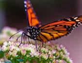 Monarch butterfly (Danaus plexippus) — Stock Photo