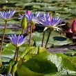 Nymphaea or Water lilies — Stock Photo #2872520