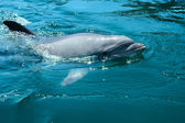 Closeup bottlenosed dolphin — Stock Photo