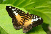 Tropical butterfly Parthenos sylvia — Stock Photo