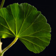 Geranium leave macro shot — Stock Photo
