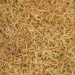 Agrostis stoloniferafter winter — Stock Photo #3193207