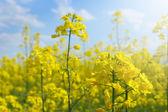 菜の花畑 — ストック写真
