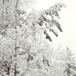 Snow-covered trees in forest — Stock Photo #2946643