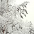 Stock Photo: Snow-covered trees in forest