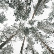 Snow-covered tops of the trees — Stock Photo