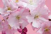 Cherry Blossom Close Up 3 — Stock Photo