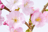 Cherry Blossom Close Up 2 — Stock Photo