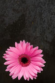 Gerbera on slate — Stock Photo