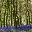 Bluebells in Woodland — Stock Photo