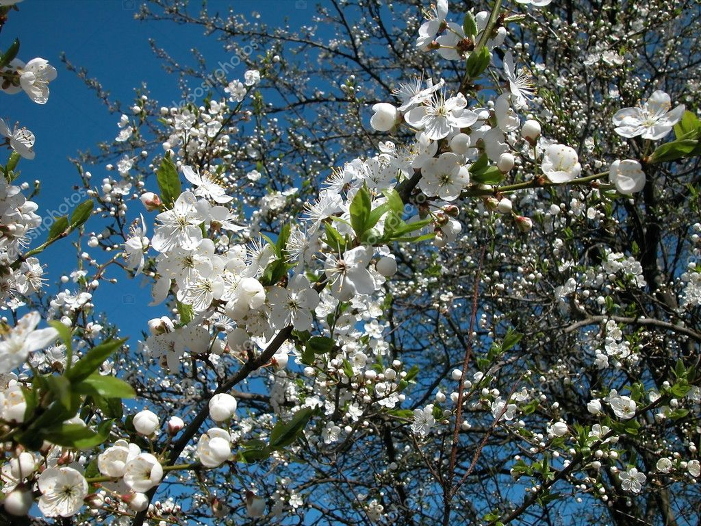 spring cherry-tree flowering white sky blue branch         — Stock Photo #2765964