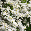 Bushes flower white — Stock Photo #3231725