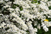 Bushes flower white — Stock Photo