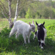 Goats — Stock Photo #3072503