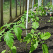 Tomato plant growing in greenhouse — Stock Photo