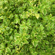 Hedge Plants — Stock Photo