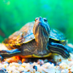 Slider turtle — Stock Photo