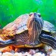 Slider turtle - Stock Photo