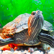 Pond terrapin — Stock Photo #2997098