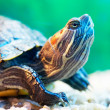 Slider turtle — Stock Photo #2997294
