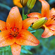 Garden lilies — Stock Photo #3143777