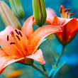 Rose lilies - Stock Photo