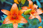 Garden lilies — Stock Photo